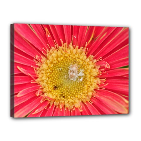 A Red Flower Canvas 16  X 12  (framed) by natureinmalaysia