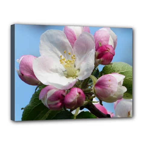 Apple Blossom  Canvas 16  X 12  (framed) by ADIStyle