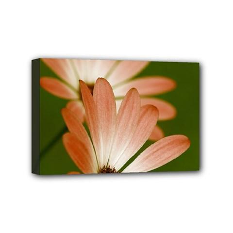 Osterspermum Mini Canvas 6  X 4  (framed) by Siebenhuehner