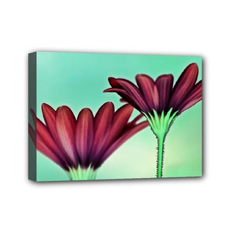 Osterspermum Mini Canvas 7  X 5  (framed) by Siebenhuehner