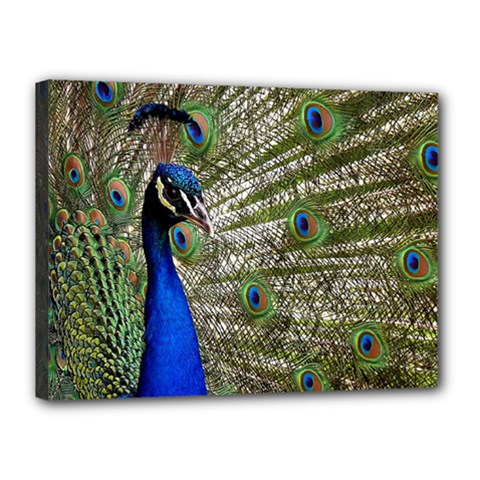 Peacock Canvas 16  X 12  (framed) by Siebenhuehner