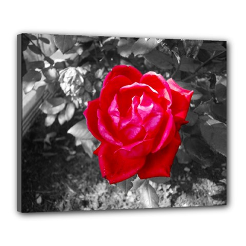 Red Rose Canvas 20  X 16  (framed) by jotodesign