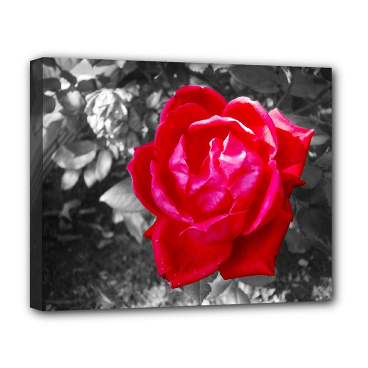 Red Rose Deluxe Canvas 20  x 16  (Framed)