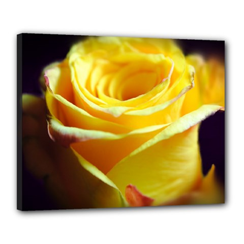 Yellow Rose Curling Canvas 20  X 16  (framed) by bloomingvinedesign