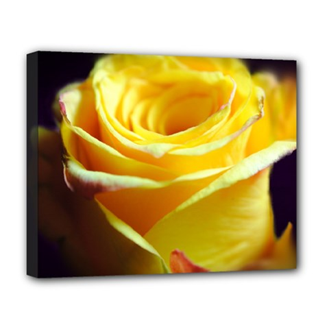 Yellow Rose Curling Deluxe Canvas 20  X 16  (framed) by bloomingvinedesign