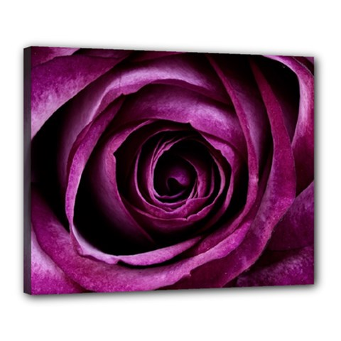 Deep Purple Rose Canvas 20  X 16  (framed) by Colorfulart23