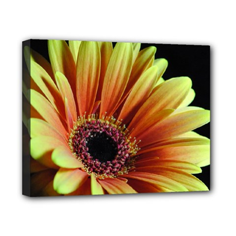 Yellow Orange Gerbera Daisy Canvas 10  X 8  (framed) by bloomingvinedesign