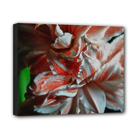 Amaryllis Double Bloom Canvas 10  X 8  (framed) by bloomingvinedesign