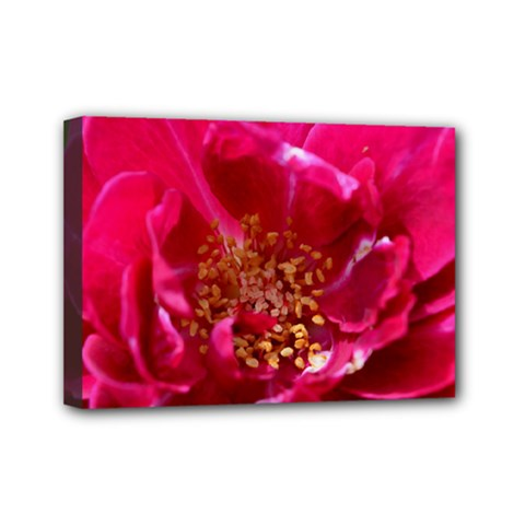 Red Rose Mini Canvas 7  X 5  by timelessartoncanvas