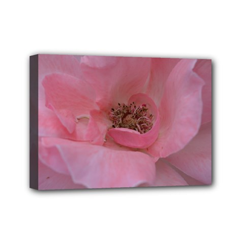 Pink Rose Mini Canvas 7  x 5