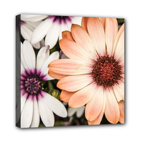Beautiful Colourful African Daisies Mini Canvas 8  X 8  by OZMedia