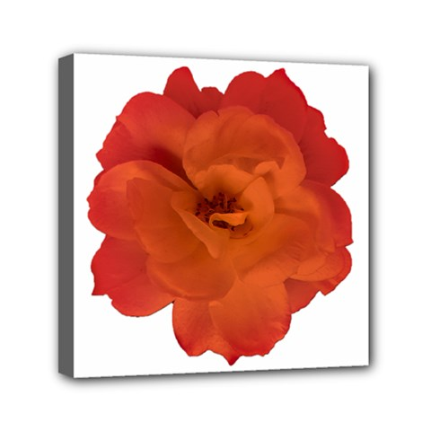 Red Rose Photo Mini Canvas 6  X 6  by dflcprints