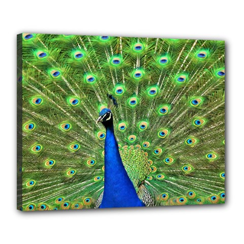 Bird Peacock Canvas 20  X 16
