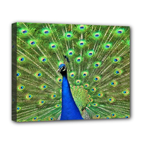Bird Peacock Deluxe Canvas 20  X 16