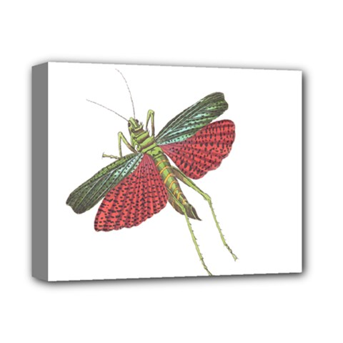 Grasshopper Insect Animal Isolated Deluxe Canvas 14  X 11