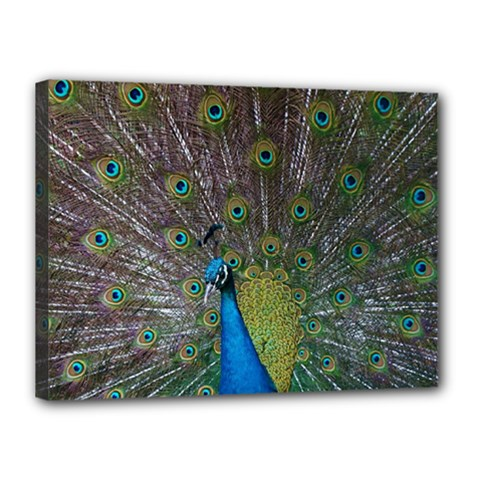 Peacock Feather Beat Rad Blue Canvas 16  X 12  by Amaryn4rt