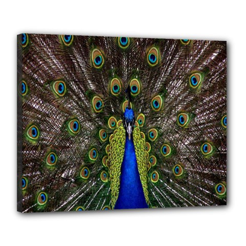 Bird Peacock Display Full Elegant Plumage Canvas 20  X 16  by Amaryn4rt