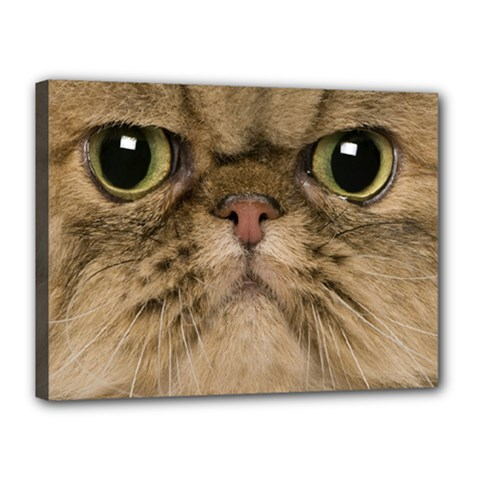 Cute Persian Cat Face In Closeup Canvas 16  X 12  by Amaryn4rt