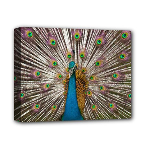 Indian Peacock Plumage Deluxe Canvas 14  X 11  by Simbadda