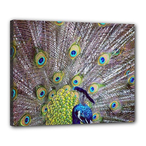 Peacock Bird Feathers Canvas 20  X 16  by Simbadda