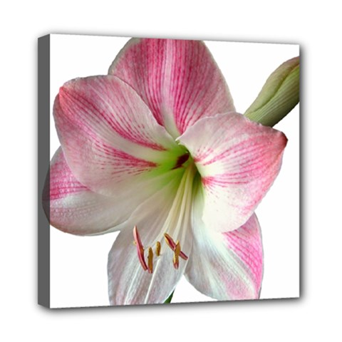 Flower Blossom Bloom Amaryllis Mini Canvas 8  X 8  by Nexatart