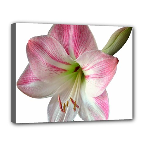 Flower Blossom Bloom Amaryllis Canvas 14  X 11