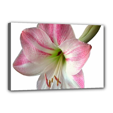 Flower Blossom Bloom Amaryllis Canvas 18  X 12  by Nexatart