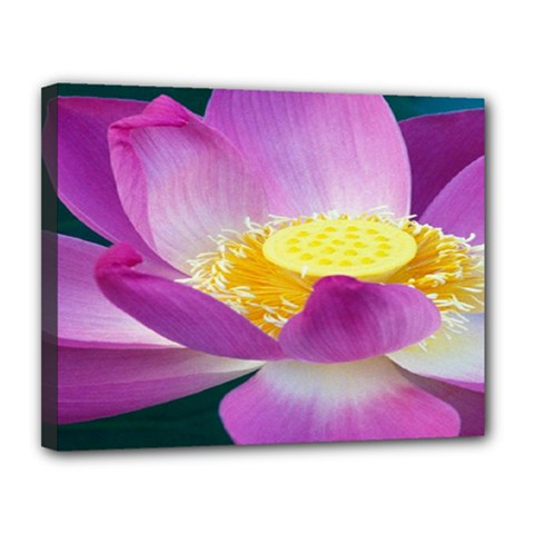 Pink Lotus Flower Canvas 14  X 11