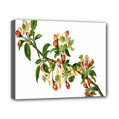 Apple Branch Deciduous Fruit Canvas 10  X 8