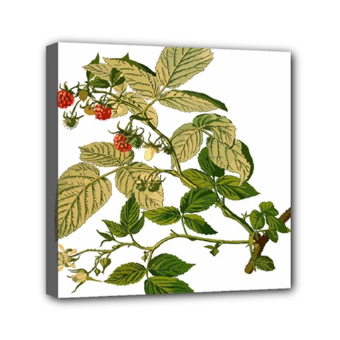 Berries Berry Food Fruit Herbal Mini Canvas 6  X 6  by Nexatart