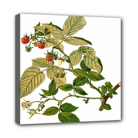 Berries Berry Food Fruit Herbal Mini Canvas 8  X 8  by Nexatart