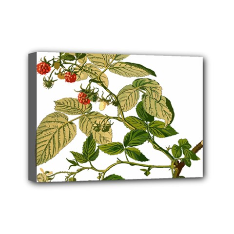 Berries Berry Food Fruit Herbal Mini Canvas 7  X 5  by Nexatart