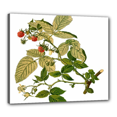 Berries Berry Food Fruit Herbal Canvas 24  X 20  by Nexatart