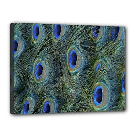 Peacock Feathers Blue Bird Nature Canvas 16  X 12