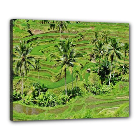 Greenery Paddy Fields Rice Crops Canvas 20  X 16