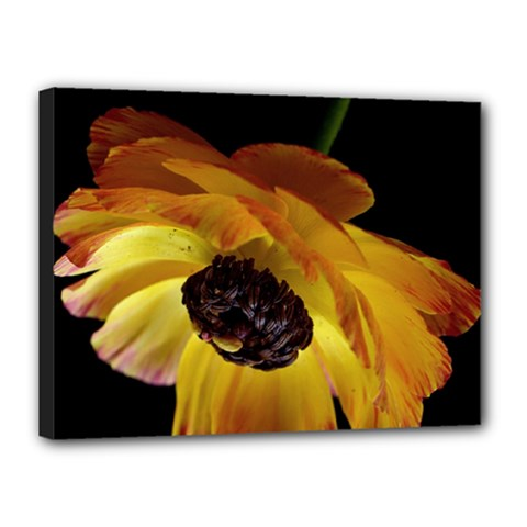 Ranunculus Yellow Orange Blossom Canvas 16  X 12  by Nexatart