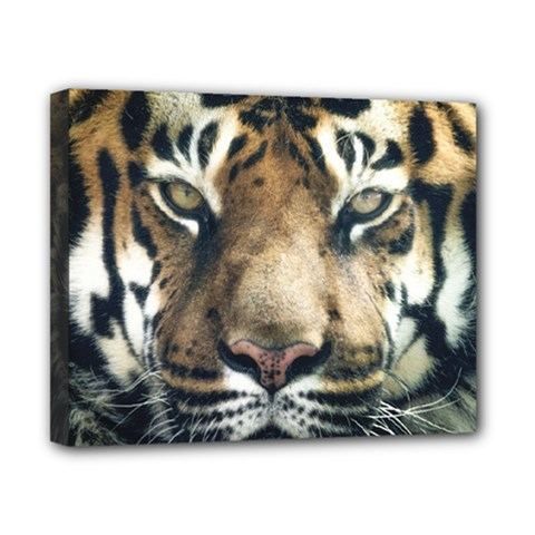 Tiger Bengal Stripes Eyes Close Canvas 10  X 8