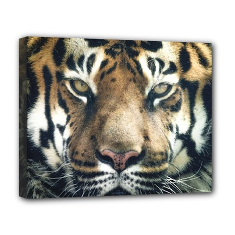 Tiger Bengal Stripes Eyes Close Deluxe Canvas 20  X 16