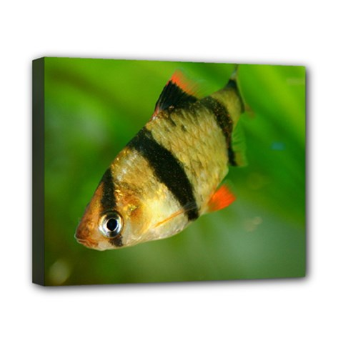 Tiger Barb Canvas 10  X 8  by trendistuff