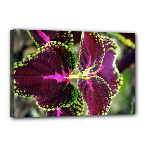 Plant Purple Green Leaves Garden Canvas 18  X 12