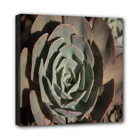 Succulent Green Pink Rosettes Mini Canvas 8  X 8  by Sapixe