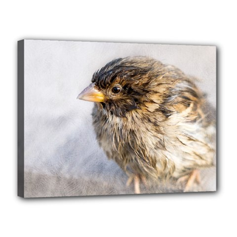 Funny Wet Sparrow Bird Canvas 16  X 12