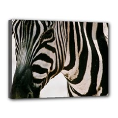 zebra - Canvas 16  x 12  (Stretched)