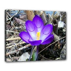 Spring Crocus - Canvas 20  x 16  (Stretched)