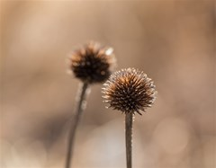 withered globe thistle in autumn macro