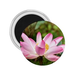 A Pink Lotus 2 25  Button Magnet by natureinmalaysia