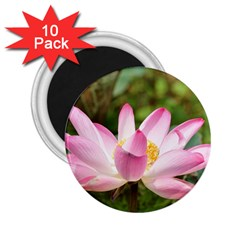 A Pink Lotus 2 25  Button Magnet (10 Pack) by natureinmalaysia