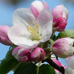 Apple Blossom  Canvas 12  X 12  (unframed) by ADIStyle