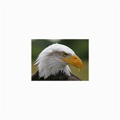 Bald Eagle (2) Canvas 36  X 48  (unframed) by smokeart