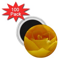 Yellow Rose 1 75  Button Magnet (100 Pack)